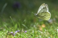 Too much butterfly watching got me chasing dreams (Paul Wrights Reserved) Tags: butterfly butterflies butterflyinflight insect inflight insects infocus insectinflight flying flyinginsect flight fly bokeh bokehphotography