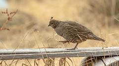 California Quail (f) (Bob Gunderson) Tags: birds california californiaquail callipelacalifornica marincounty northbay northerncalifornia tennesseevalley uplandbirds