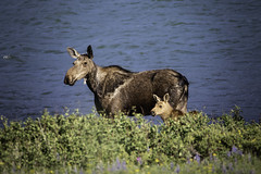Mamma Moose and Calf (M@ H) Tags: animal animalinnature glaciernationalpark lake moose nps nationalpark unitedstates water baby calf mother nature wildanimals wildlife