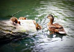 Mallard ducklings exploring the lake (soxstripy Joe 1954) Tags: wildbirdsuk wildlife ducks ducklings waterfowl waterbird 2018breedingseason