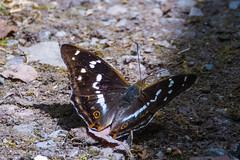 Purple Emperor Apatura iris - Upperwings (Barbara Evans 7) Tags: purple emperor butterfly upperwings bentley wood wiltshire uk barbara evans7