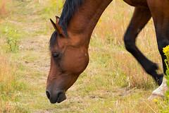 Horse looking for food (Leo Kramp) Tags: 2018 oudreemst zoogdieren veluwe wandelen loweproflipside300awii dieren natuurfotografie paard horse flickr accessoires leo kramp leokramp wwwleokrampfotografienl leokrampfotografie