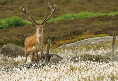 red deer stag peak district in cotton grass 7 july 2018 (5) (Simon Dell Photography) Tags: nature wildlife animal majestic stag red derr peak district fox house longshaw estate derbyshire uk england english countryside simon dell photography 2018 july summer cotton grass meadow moorland moor close up detail