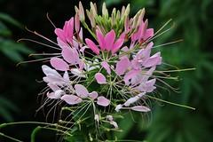 Flower (Hugo von Schreck) Tags: hugovonschreck flower blume blüte macro makro yourbestoftoday canoneos5dsr tamron28300mmf3563divcpzda010