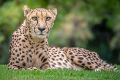 Do I Know You? (helenehoffman) Tags: africa cheetah acinonyxjubatus bigcat feline conservationstatusvulnerable felidae sandiegozoosafaripark nature sandiegozoo wildlifed cheetahbreedingcenter safaripark carnivore mammal animal coth5 specanimal specanimalphotooftheday