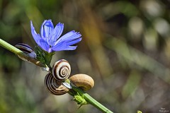Macro in blue (Peideluo) Tags: macrofotografía macro flowers flower nature garden bokeh flor planta nikon