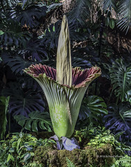 CorpseFlower_Meijer_1_wm (RSchadle) Tags: titanarum corpseflower carrionflower amorphophallustitanum meijergardens
