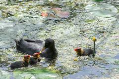 La becquée (Des.Nam) Tags: faune oiseaux oiseaudeau eau rivière nenuphars desnam d800 200500f56 nature aquatique volatiles