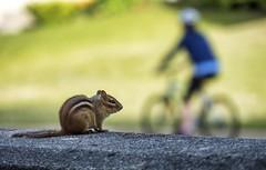 thelonius (montrealmaggie) Tags: chipmunk summer fur claws animal small cute