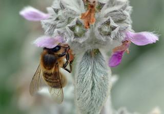 honey bee on Stachys byzantina - lamb's ear 2/2