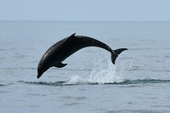Dolphin arc (karen leah) Tags: dolphin bottlenose mammal nature wildlife outdoors sea july summer cardiganbay ceredigion movement leaping acrobatics