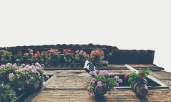 Geranios (Xavier Larrosa) Tags: flora flower plant cantabria santillanadelmar balcon balcony geranios