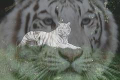 Eye of the Tiger. (wimjee) Tags: dierentuin zoo zooparcoverloon overloon nikon d7200 wittetijger tijger doubleexposure dubbelebelichting gimp 500px