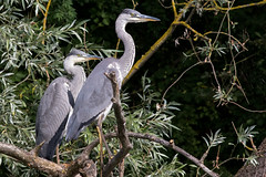 Grey Herons (Juvinile) (Deadpanhammer) Tags: canon7dmk2 ef400mmf56l bird nature greyheron