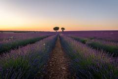 Can you smell it? (Dani DSC) Tags: lavanda guadalajra brihuega atardecer sunset landscape paisaje hdr sigma nikon lavender espliego españa madrid fotografia naturaleza nature