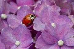 Spotted (brucetopher) Tags: spot spotted spots flower flowers beetle ladybug ladybird lady bird hydrangea bloom blooming beauty beautiful nature natural petals petal garden insect bug animal 6 six legs sixlegs critter creature tiny pattern elytra dot dots dotted 7dwf
