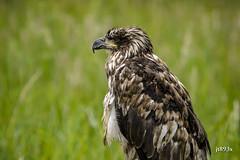 Bald Eagle (juvenile) (jt893x) Tags: 150600mm americanbaldeagle baldeagle bird d500 eagle haliaeetusleucocephalus jt893x juvenile nikon nikond500 raptor sigma sigma150600mmf563dgoshsms thesunshinegroup coth alittlebeauty coth5 sunrays5