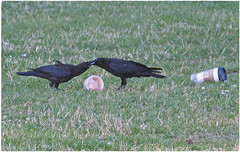 Feed Me, Feed Me! ... (Irene, W. Van. BC) Tags: feedmefeedme feedingtime feed crow crows momyoungstercrows food park pacificcoastbirds parkscenes bcbirds birdsofbc birdsofafeather birdwatch allbirds blackbirds outdoors outdoorscenes grass foodcontainers 1001nights 1001nightsmagiccity 1001nightsmagicpeacock birdscenes youngcrow featheredfriends fridaythe13th luckyfriday13thphoto