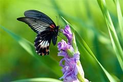 ナガサキアゲハ Great Mormon (takapata) Tags: sony sel90m28g ilce7m2 macro nature flower insect butterfly