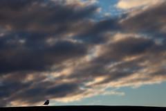 Gull & morning clouds (Mikey Down Under) Tags: australia carpark coast coffs dawn gull headland morning northcoast northern nsw road seagull silver sunrise woolgoolga
