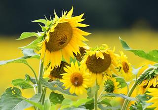 Sunflower Fields Forever................