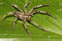 Wandering spider (Cupiennius getazi) (edward.evans) Tags: spider arachnid wanderingspider ctenid ctenidae cupiennius cupienniusgetazirainforest wildlife nature chilamate sarapiqui costarica