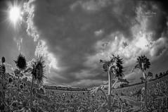(369/18) Campos de Moixent (Pablo Arias) Tags: pabloarias photoshop ps capturendx españa photomatix nubes cielo hierba campo árbol paisaje bn blancoynegro monocromático moixent valencia