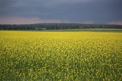 Storm Clouds Over a Field of Mustard (Flickr Photo #9,000!) (Craigford) Tags: kelvingrove pei canada sky clouds storm field mustard rural
