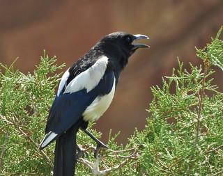 Black-Billed Magpie at Red Rocks Park, Denver.