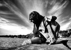 Old boy towel dry (Buck777) Tags: water fuji senior toweldry waterfront veteran old dog black labrador