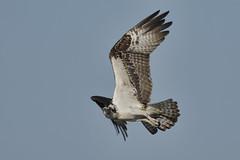 _A734953 (bram-sowers) Tags: sonyfe2470gm sonyfe100400mmgm sonya7riii warsawvirginia rappahannockriver eagle osprey tycho chez