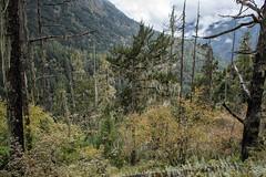 Dead trees and forest between Laya and Rodophu - Gasa District - Snowman Trek - Bhutan (PascalBo) Tags: nikon d500 asie asia southasia asiedusud drukyul drukgyalkhap bhutan bhoutan འབྲུག་ཡུལ། འབྲུག་རྒྱལ་ཁབ་ snowman trek trekking hike hiking lunana gasa himalaya himalayas jigmedorjinationalpark forest arbre tree vegetation forêt montagne mountain outdoor outdoors pascalboegli