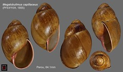 megalobulimus capillaceus perou 64mm1 (MALACOLLECTION Landshells Freshwater Gastropods) Tags: strophocheilidae megalobuliminae megalobulimus megalobulimuscapillaceus pfeiffer1855 peru sanmartínprovince tarapoto claudeandamandineevanno gastéropodes gastropods invertebrates faune fauna macro gastropoda escargots terrestres collection schnecken mollusques molluscs mollusca coquillages landshells landschnecken landmollusken landsnails malacologie malacology macrophotography macrophotographie
