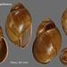 megalobulimus capillaceus perou 64mm1