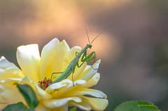 La belle . (gillesfournier005) Tags: rose jaune d5100 mante religieuse vert