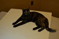 Zenobia (Das_Zaku) Tags: cat zenobia meow feline billee gato northeast philly animal 猫 बिल्ली ਬਿੱਲੀ cattus katze chat قط کیٹ tortoiseshell torty nikon d3100 35mm nikkor
