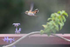 IMG_3787 (armadil) Tags: backyard bird birds flying hummingbird allenshummingbird sage fog whirlybluesage