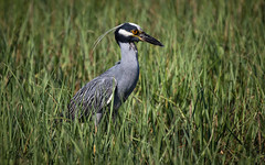 Yellow-crowned Night-Heron in Breeding Plumage (Nyctanassa violacea) (Don Dunning) Tags: animals birds bolivarpeninsula canon7dmarkii canonef100400mmf4556lisiiusm heron highisland nyctanassaviolacea texas unitedstates yellowcrownednightheron