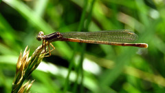 Spreadwing IMG_6006 (Jennz World) Tags: ©jennifermlivick mtpleasantnaturepark mtpleasant ontario canada dragonfly damselfly
