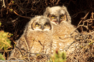 2018.Yellowstone.Owls.May25-5468.jpg