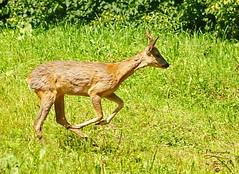 Warsaw deer (Warszawska sarenka) (Jurek.P) Tags: roedeer sarna lasekbielański warsaw warszawa poland polska spring wiosna jurekp sonya77