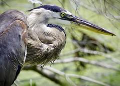 Sweet Carolina (Feathered Trail Photos) Tags: greatblueheron southcarolina pinckney nwr ardeaherodias heron nature birdportrait july waders wadingbirds