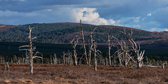 Death Becomes Them (Geoff France) Tags: moor landscape scottishlandscape highlands scottishhighlands skeleton trees deadtrees