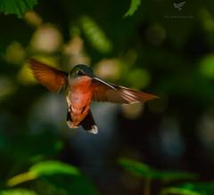Ruby throated Hummingbird (AnthonyVanSchoor) Tags: anthonyvanschoor maryland usa rubythroatedhummingbird blackwaternationalwildliferefuge nikond7100 tamron150600mmtelephotolens birding bird birdphotography b