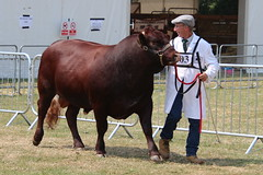 Prize Winning Sussex Bulls, Kent County Show 2018 (timothyhart) Tags: kentcountyshow 6july2018 kent uk england countycircuit show equine agricultural countrylife country cows cattle horses sheep goats prizes hot heat sunny summer competition crowds family dayout showtime horticulture