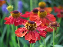 Come on you Reds ... :-) (☜✿☞ Bo ☜✿☞) Tags: helenium flower plant garden outdoor yard backyard outside dof fleur flora new ciel forna nature vacation colourful red gold yellow green blue brown colour colours canong16 powershot macro bokeh closeup depthoffield blur cup worldcup russia me england sweden floral day camera flowers home game event naturaleza rural bright britain uk europe european pretty summer june july summer2018 chant comeonyoureds footballcominghome national pride country lucky vibrant soccer garethsouthgate harrykane tribute naturephotography plants team smile saturday himmel