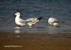 DSC00810 Brown-headed Gull (Chroicocephalus brunnicepha;us) (vlupadya) Tags: greatnatyre animal aves fauna imndianbirds brownheaded gull chroicocephalus kundapura karnataka