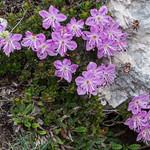 Rhodothamnus chamaecistus - Zwerg-Alpenrose - 20180621 - P1120133 thumbnail