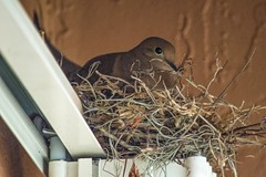 Nest Above (ACEZandEIGHTZ) Tags: mourning dove nikon nest d3200 nature zenaida macroura backyard birdwatcher