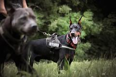 Check on him (zola.kovacsh) Tags: outdoor animal pet dog iron doberman pinscher dobermann wood forest littledoglaughedstories